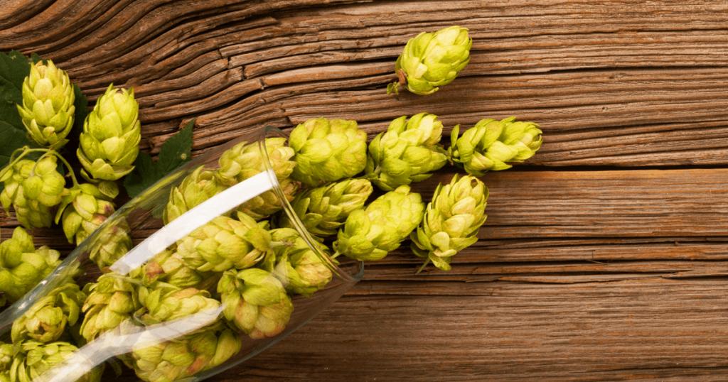 Lúpulo é um dos ingredientes da cerveja